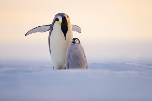 Emperor Penguin Golden Light