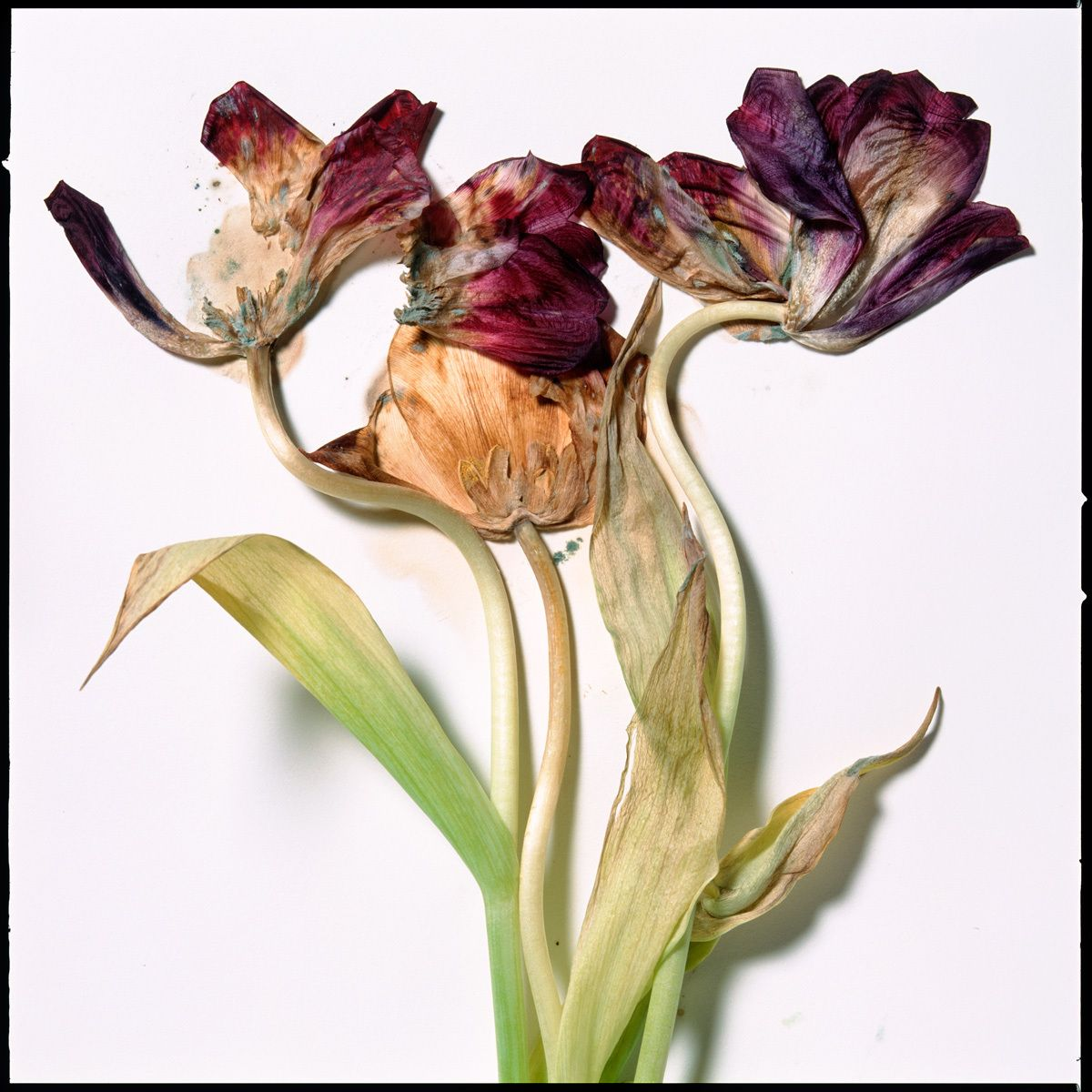 1aging_tulips1_copy.jpg