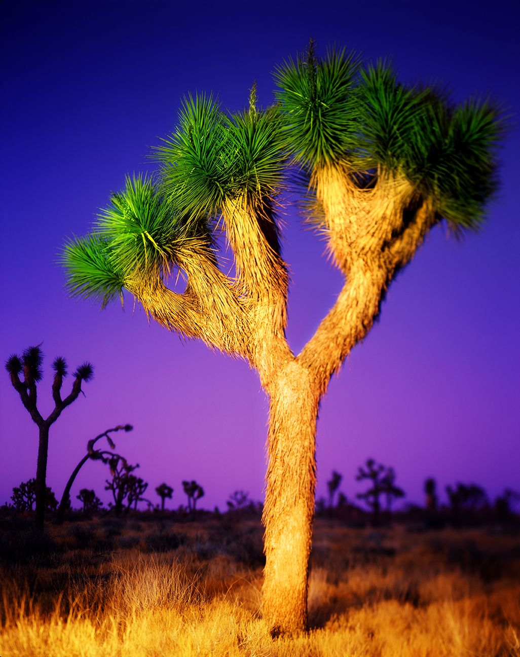 Joshua Tree, light painted