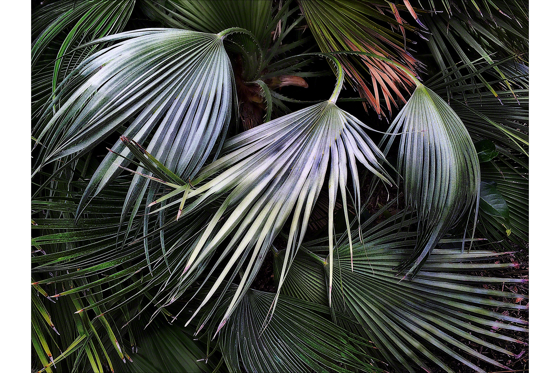 Silver Fronds