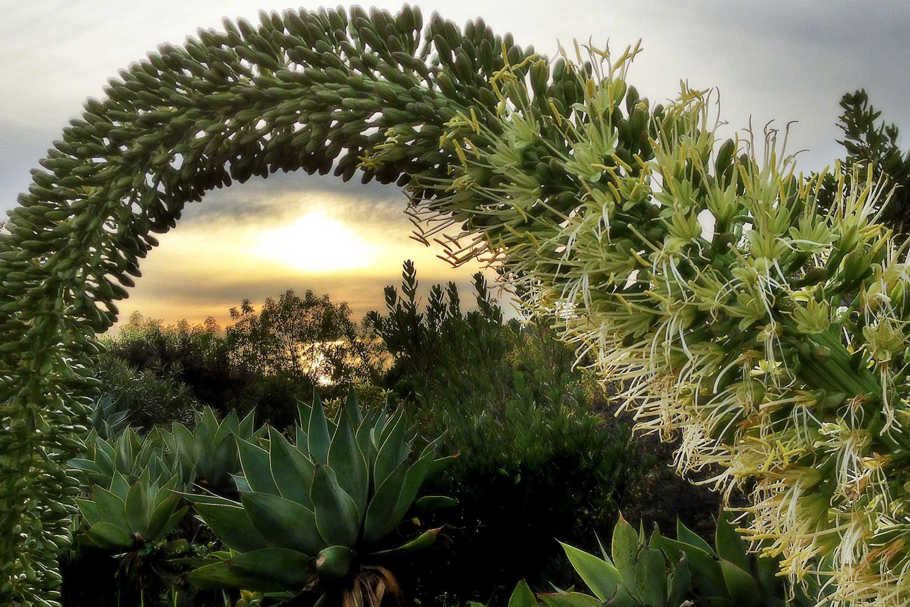 Foxtail Yucca at Sunset