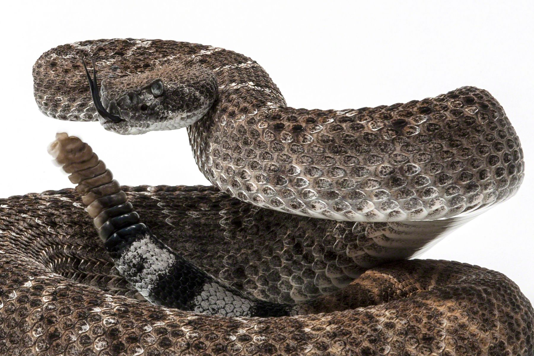 Diamond Back Rattlesnake