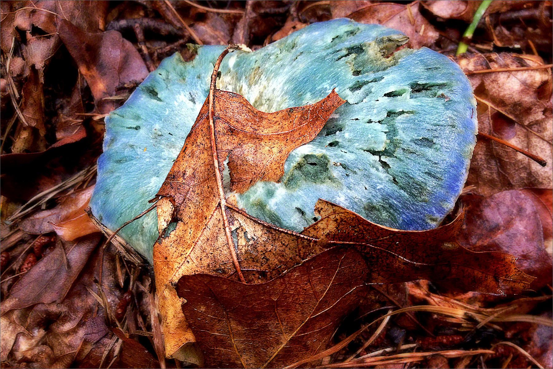 Lactarius Indigo & Oak Leaves