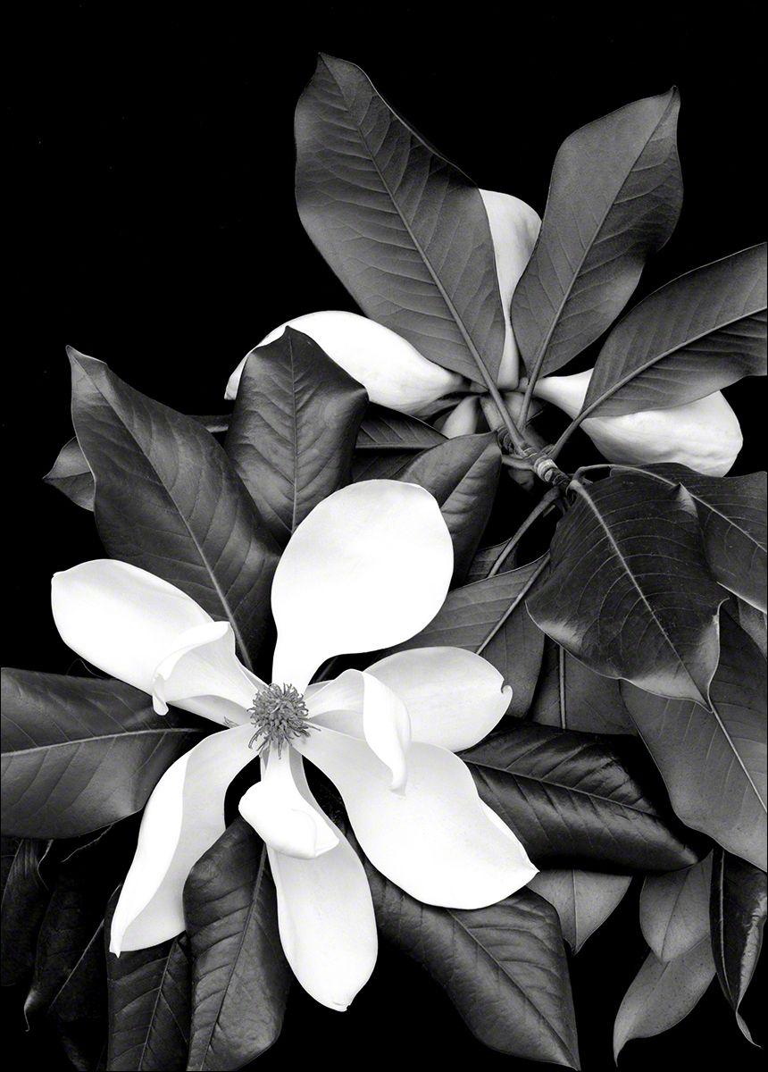 Magnolia No. 7