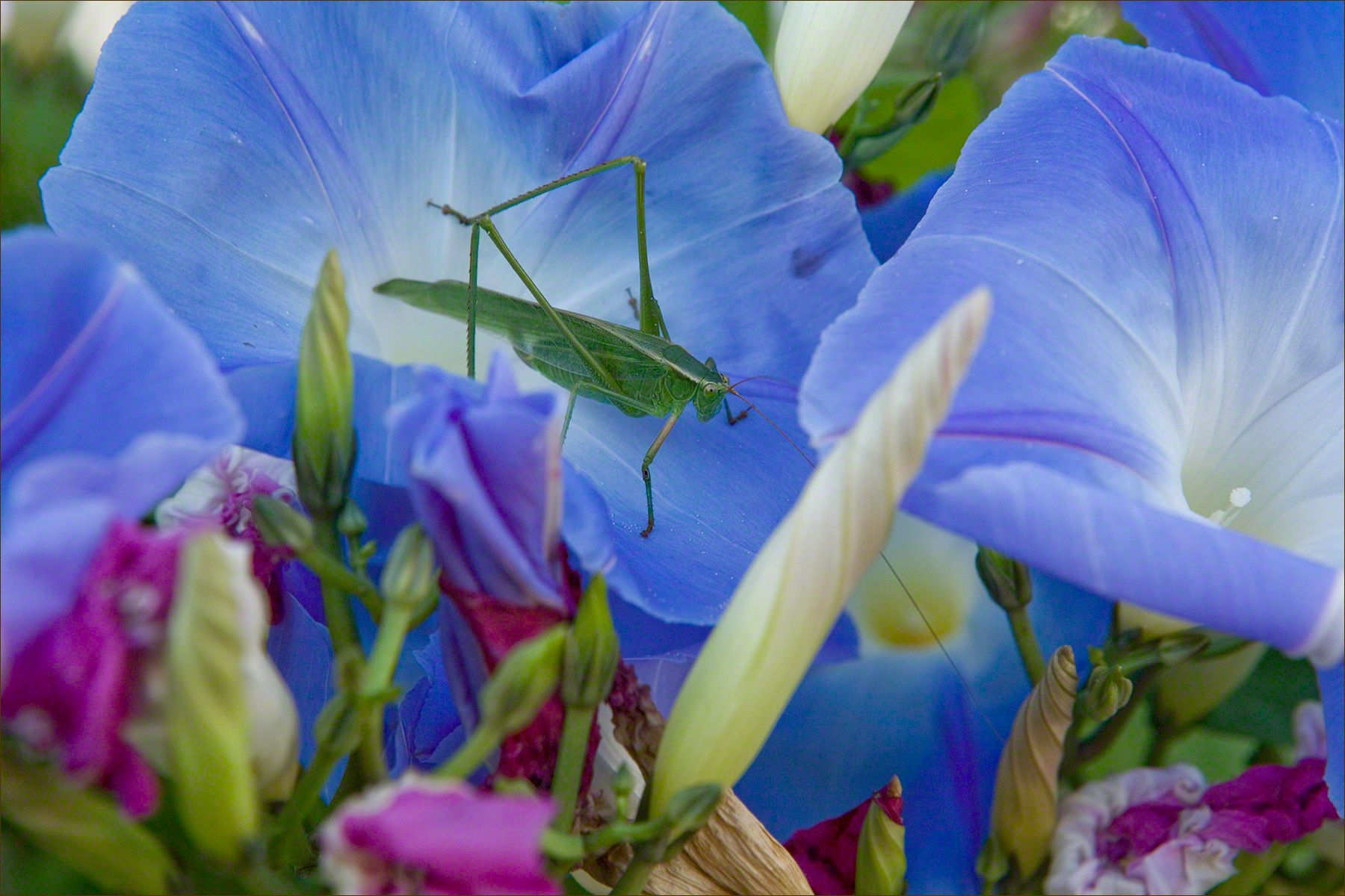 Katydid & Morning Glories