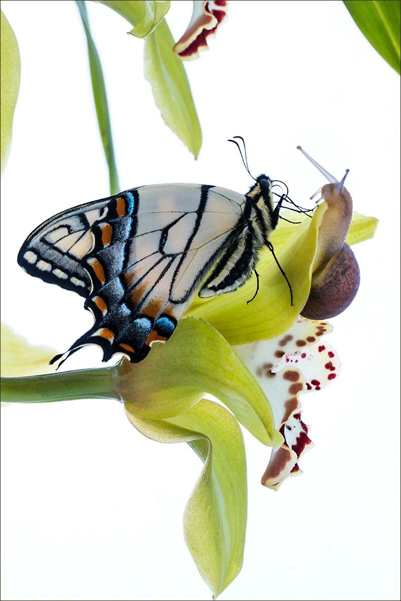 Tiger Swallowtail & Snail