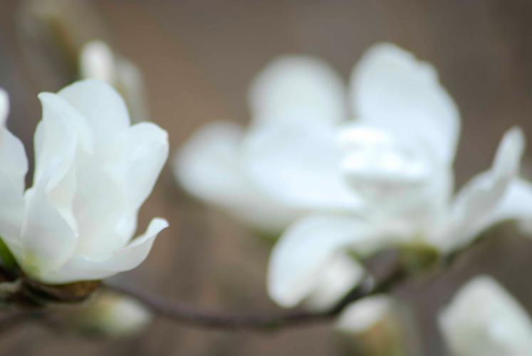 MagnoliaBronx Botanical Gardens