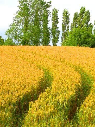 1field_france_wheat_nancy_e_hill_photography.jpg