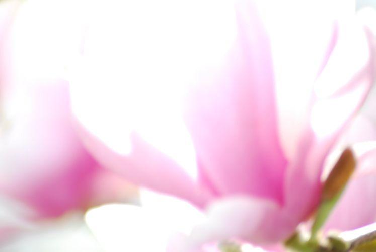 1magnolia_pink_magnolia_flower.jpg