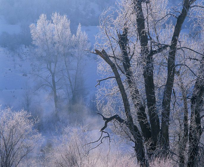 TREES, FROSTED BY RIVER STEAM,  1988