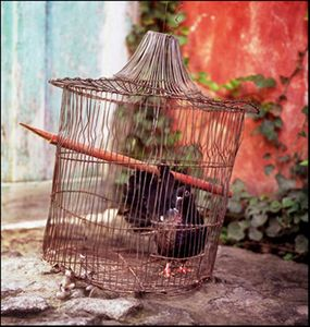1WEB8_2003321SRGB_Guatamaula__Princess_Pigeon_copy_copy
