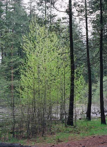 1Yosemite_Treepairing_Street_Cosel