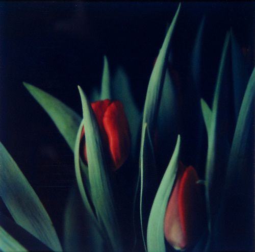 1Polaroid_Flora_Tulips_with_leaves.jpg