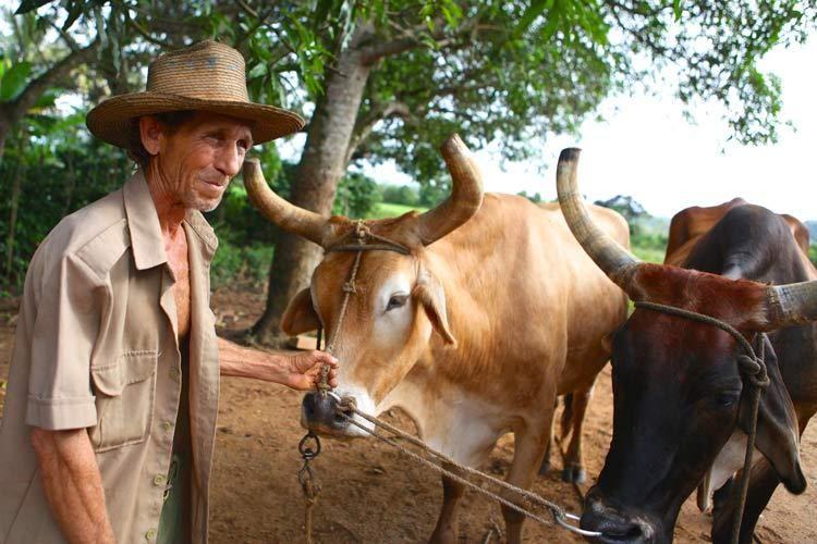 1cuba_cow_farmer_havana_vinales_valley_doria_anselmo___1