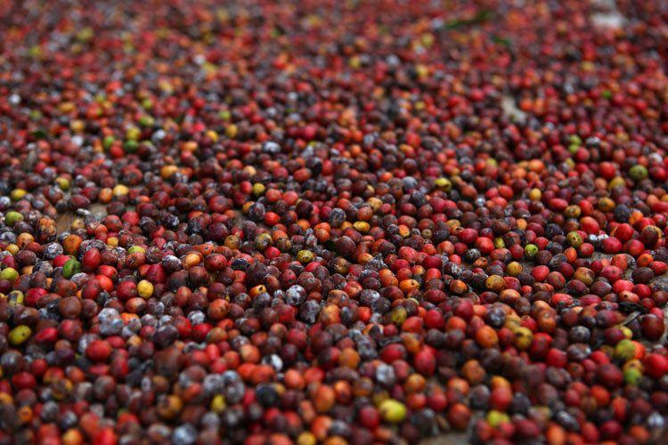 1cuba_havana_coffee_beans_vinales_valley_doria_anselmo___1