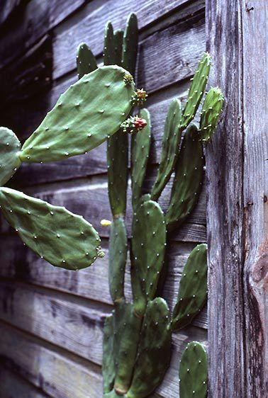 Carribean Cactus