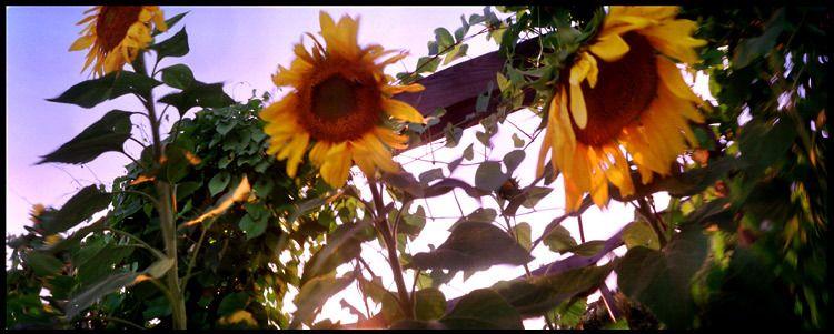 1sunflowers.jpg