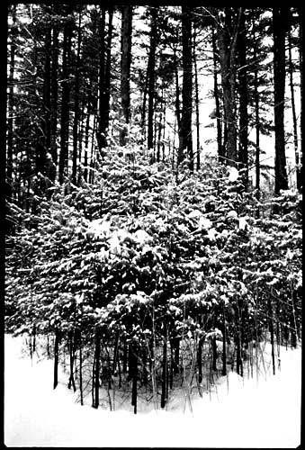 1winter_woods_small_pines.jpg