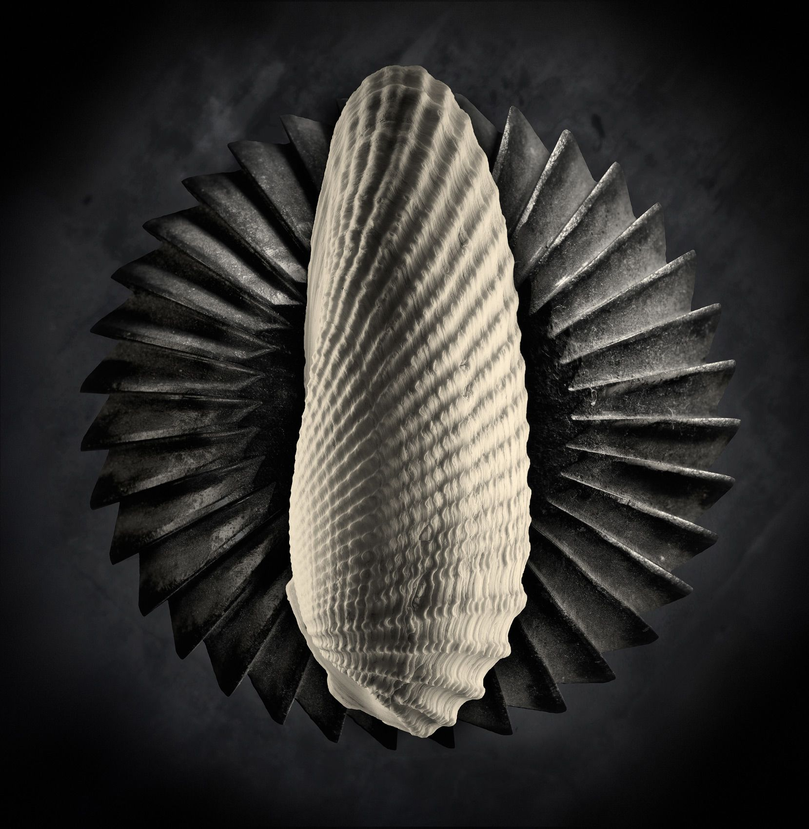 Shell Study #2 by Harold Ross