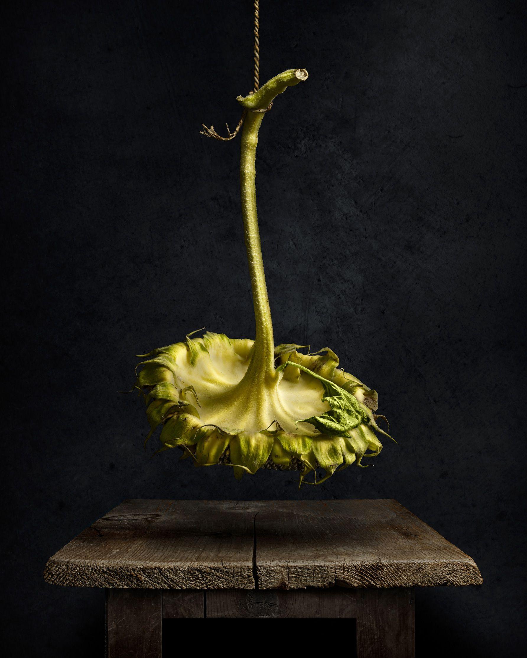 Sunflower, Drying by Harold Ross