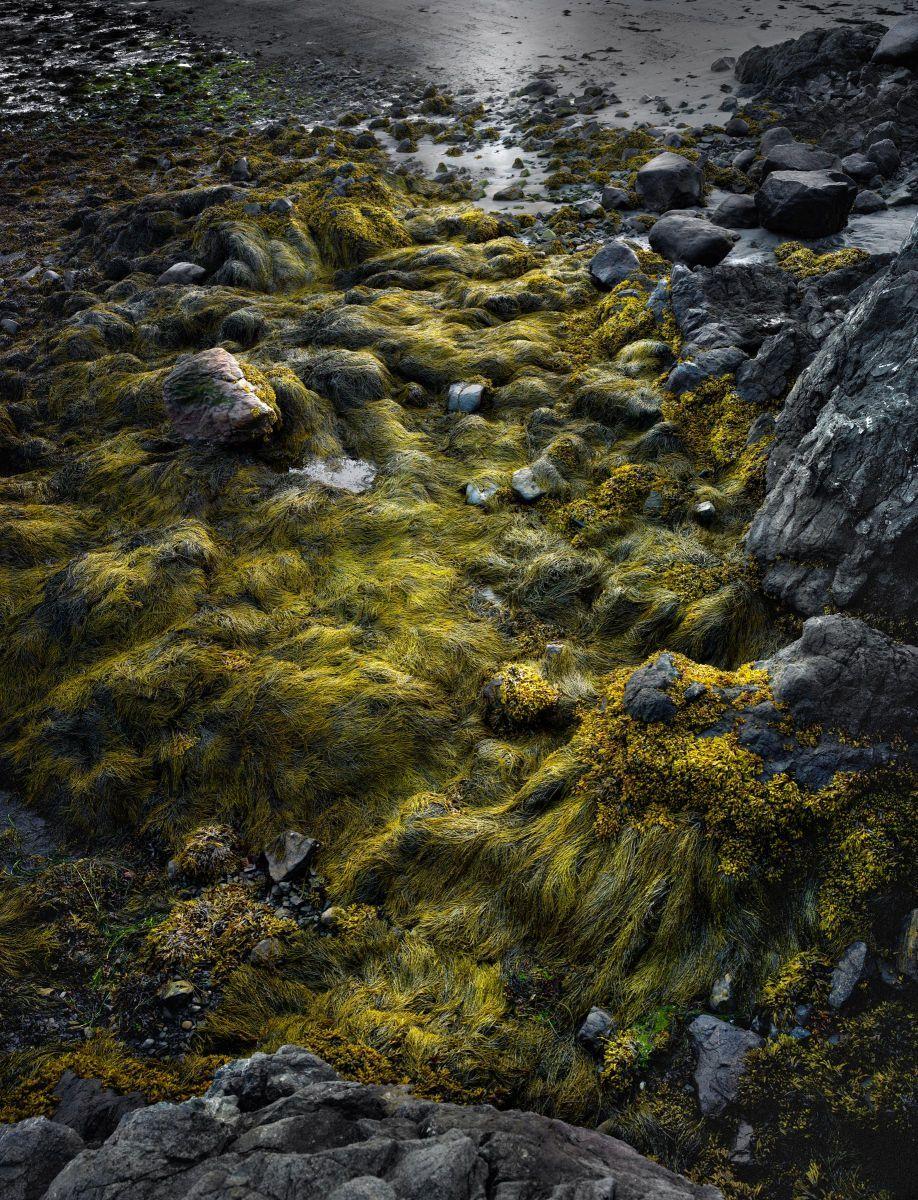 Seaweed, Bay of Fundy by Harold Ross