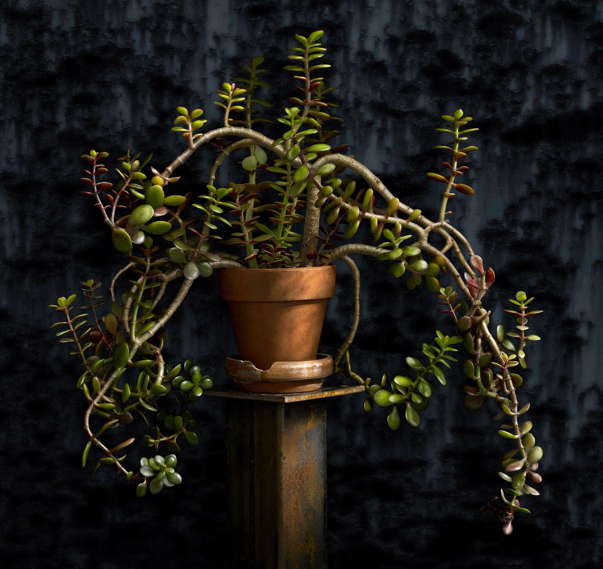 Jade Plant by Harold Ross