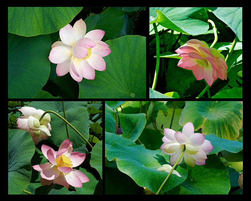Web-Lotus-3.jpg