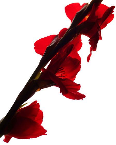 1Gladiolus.jpg