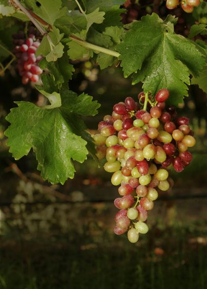 Table Grapes in the Central Valley