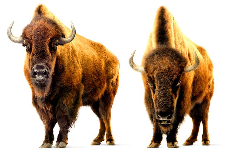5_0_489_1bisons_double2.jpg