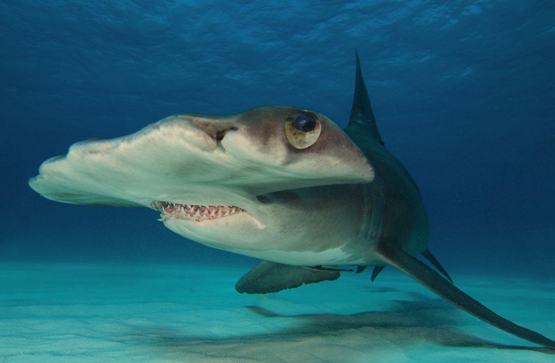 4 Requin Marteau, Bimini, Bahamas.jpg
