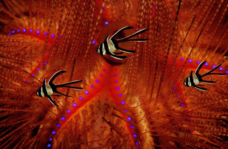 6 Poissons Cardinaux juvéniles, Détroit de Lembeh, Indonésie.jpg
