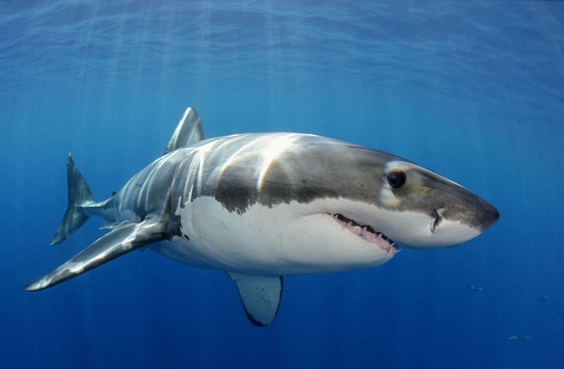 11 Requin blanc, Guadalupe.jpg