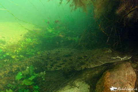 Crocodile1.jpg