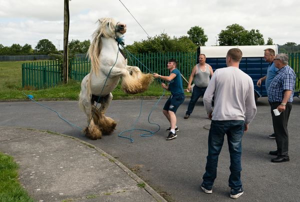 Rearing Horse - Craughwell Halting Site