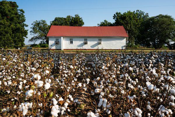 Church In A Cotton Field