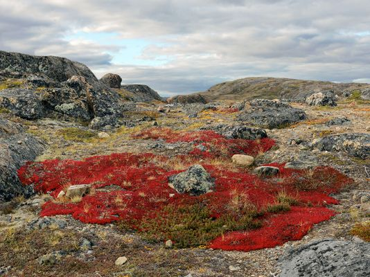 Flora Growing on the Tundra, Sylvia Grinnell Territory Park, Iqaluit, Canada 2016