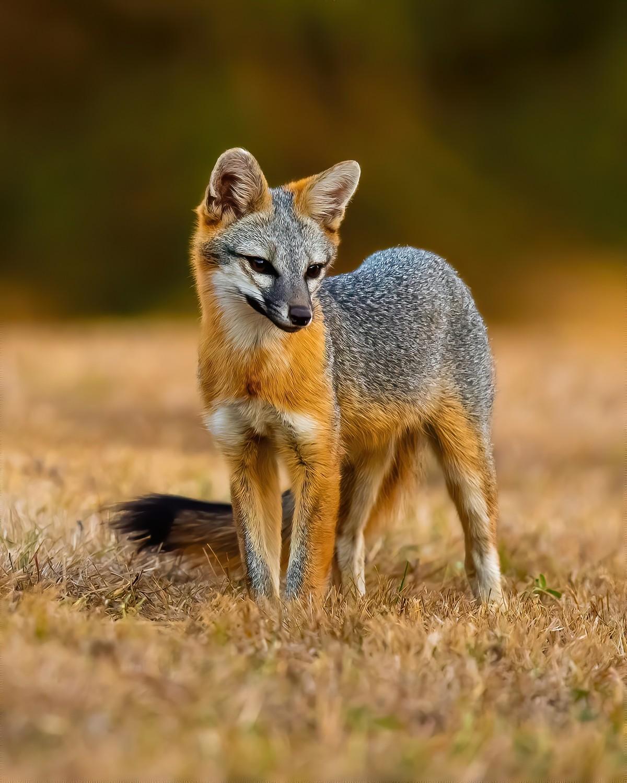 Fox A2-denoise-sharpen-sharpen.jpg