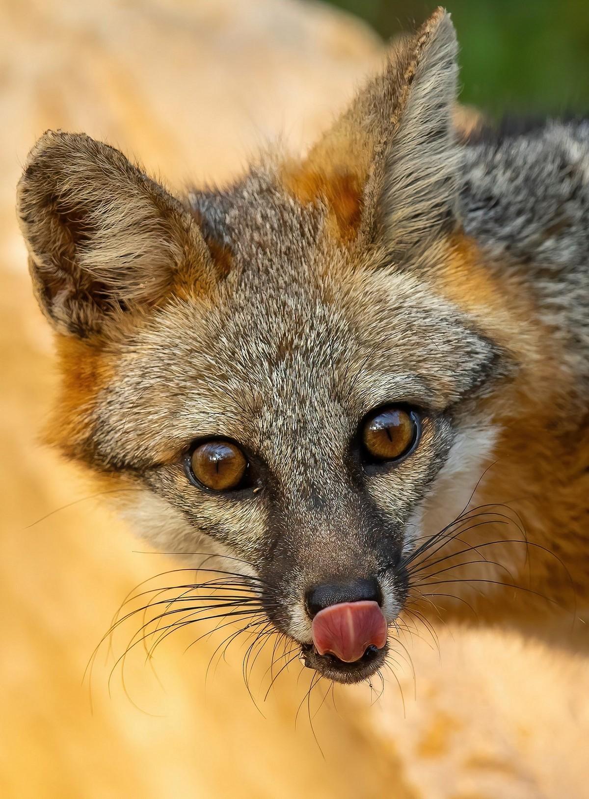 Beautiful Grey Fox Licking Lips - Copy.jpg