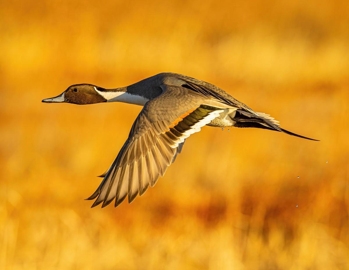 _MGL3635 - Northern Pintail male - s.jpg