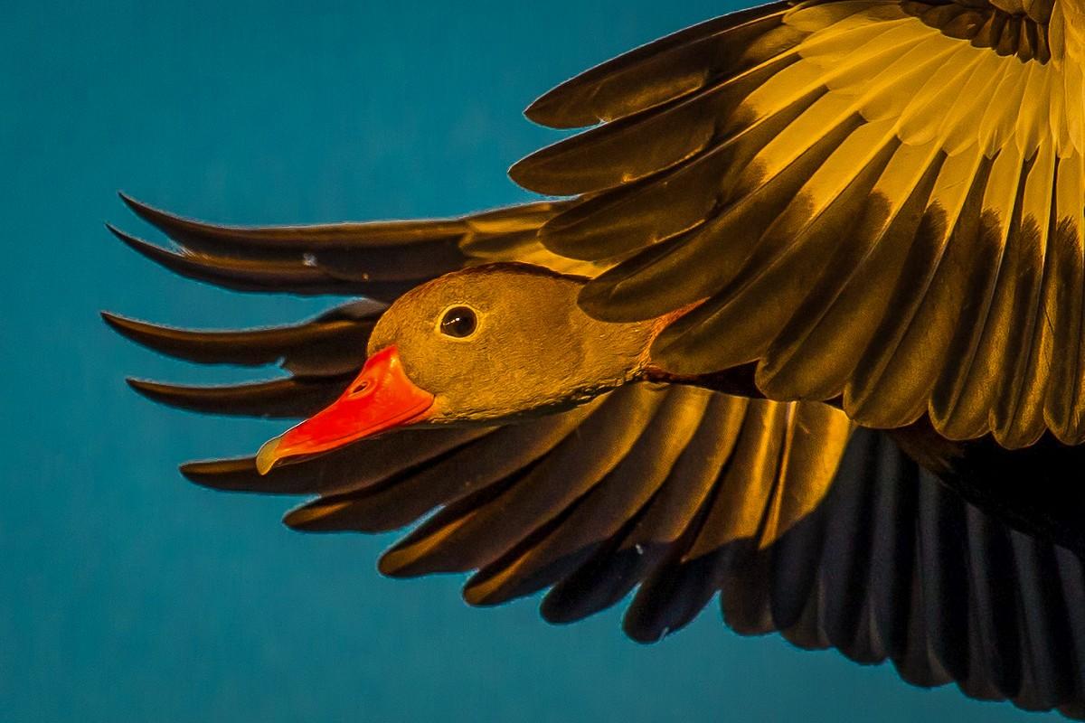 Black-Bellied Whistling Duck male.jpg