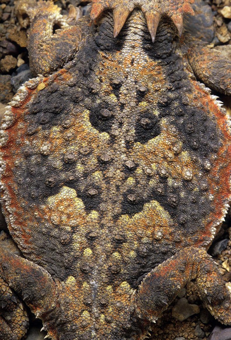 Desert horned lizard pattern