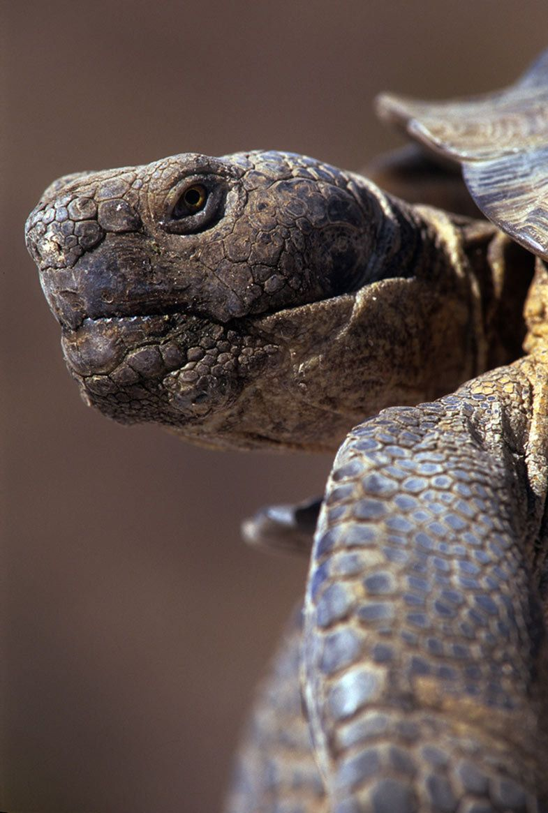 Desert tortoise closeup