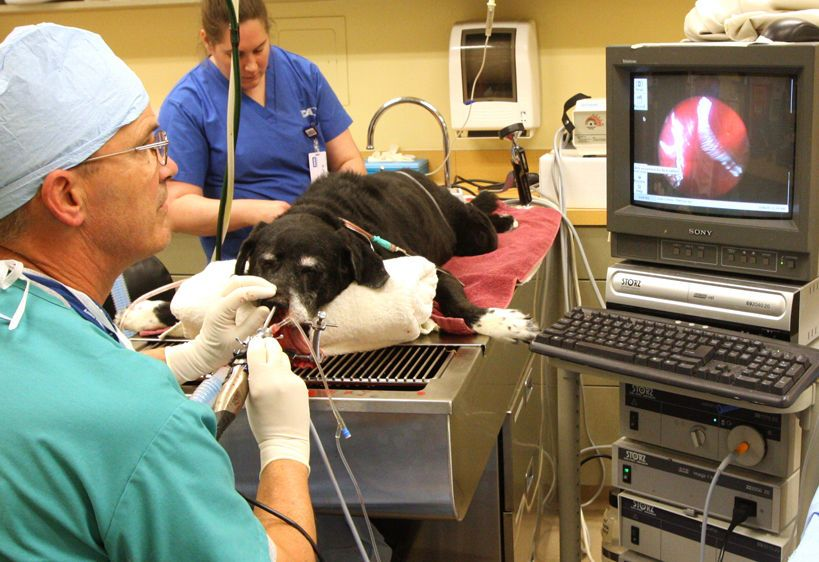 Veterinarian using scope to remove nasal polyps
