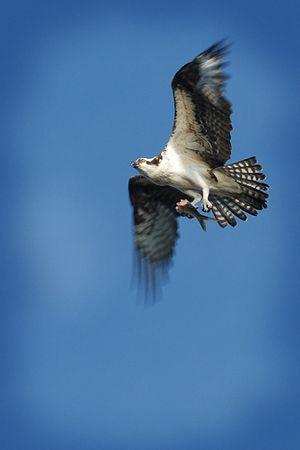 """Osprey"": Honeymoon Island, Florida"