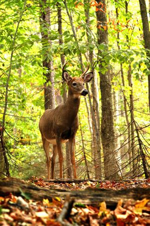 7 Point Whitetail Deer