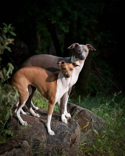 Lola & Spencer, Italian Greyhounds