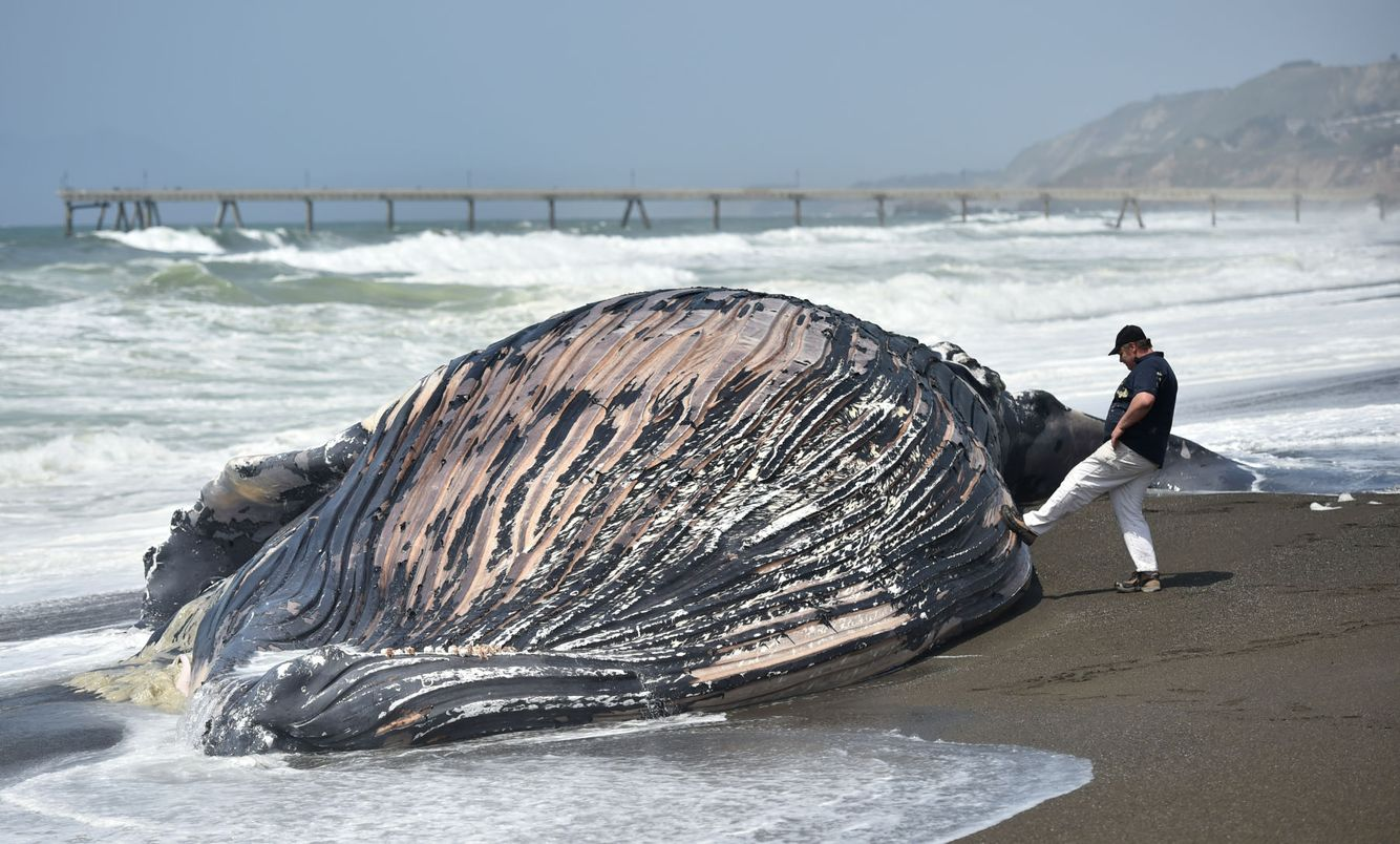 DEAD WHALE: A man kicks the carcass of a dead whale that washed ashore