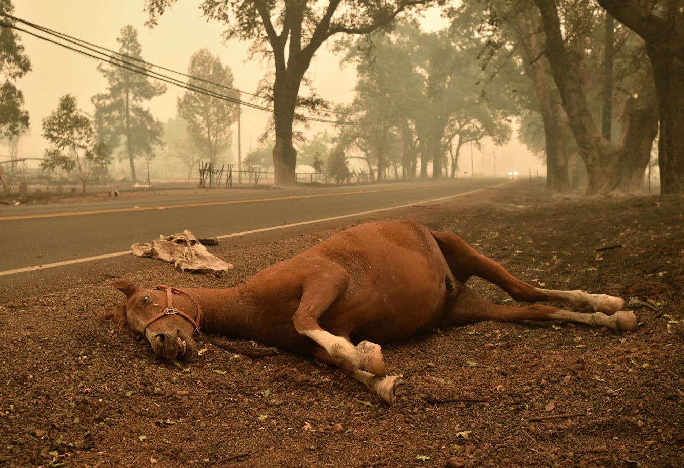 A dead horse lays on the side of a road during the Valley fire.