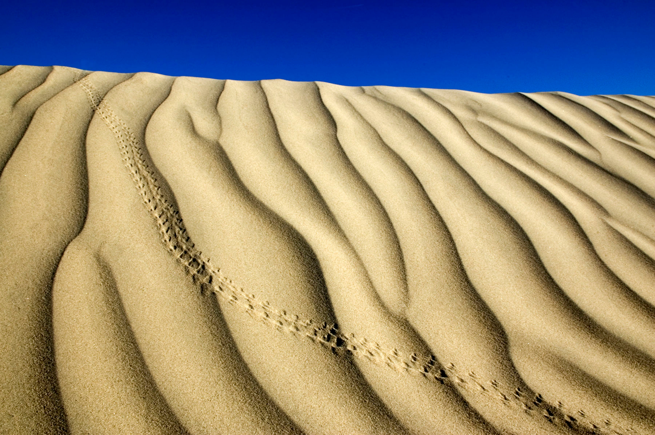 Animal tracks run across a sand dune in Death Valley, CA.